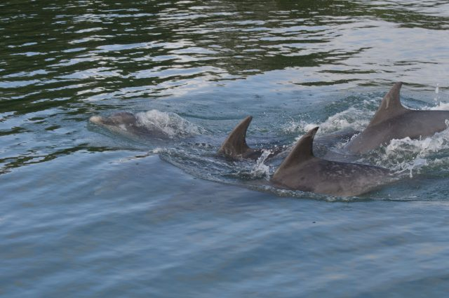 Strangford Lough Dolphins1